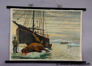 old pull-down wall chart hunting scene of a walrus fishing Artic Ocean maritime