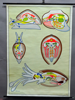 pull-down vintage animal poster print wall chart mollusca snail shell maritime
