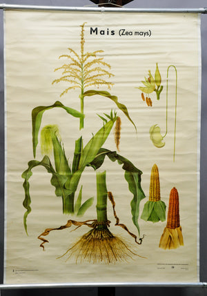 vintage picture poster wall chart corn (Zea Mays) plants country style decor
