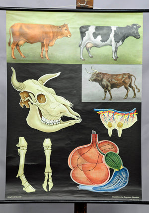 vintage wall chart Jung Koch Quentell, animals, agriculture, cows, cattle