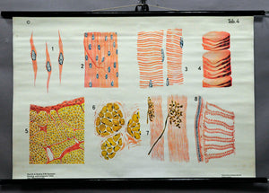 fantastic school wall chart picture, muscle tissue, fiber, motor unit, anatomy