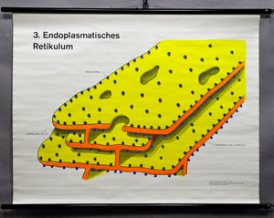 vintage poster rollable wall chart, biology, cells, endoplasmic reticulum
