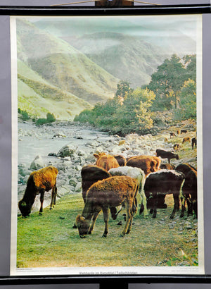 old vintage wall chart landscape animals cattle herd in the Varsobtal Tajikistan