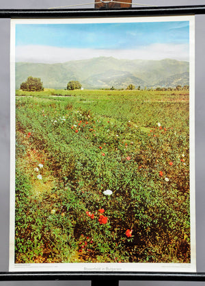 wall chart poster, landscape, flowers, plants, roses field red white Bulgaria