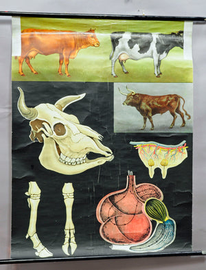 vintage rollable wall chart poster, cow, cattle, agriculture, milk, anatomy