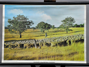 vintage picture wall chart, landscape, sheep farming, New South Wales Australia