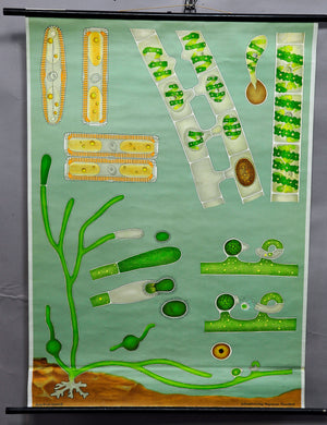 rollable wall chart Jung Koch Quentell poster print sweet water algae