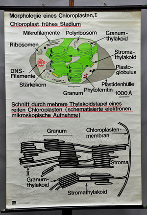 vintage biological wall chart, morphology of chloroplasts I, photosynthesis