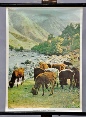 vintage poster print wall chart decoration cattle herd Varsobtal Tajikistan