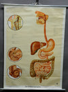 rollable vintage wall chart anthropology alimentary organ medical poster print