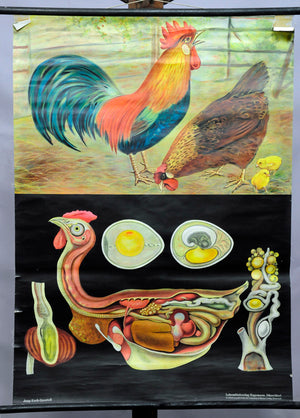 vintage rollable poster wall chart chicken Gallus domesticus Jung Koch Quentell