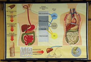 vintage anatomical wall chart human body digestion nutrition diet consulting
