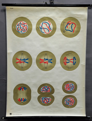 pull-down medical poster print blue red vintage wall chart cleavage of cells