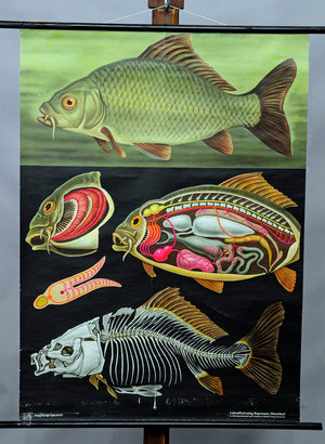 pull-down wall chart poster fish carp marine decoration Jung Koch Quentell
