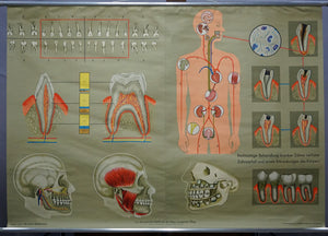 human body poster wall chart print healthy teeth