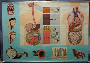 vintage rollable human poster wall chart nutrition food digestion