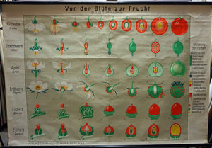 vintage botanical wall chart from flower to fruit