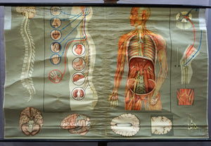 vintage medical wall chart rollable poster human body brain