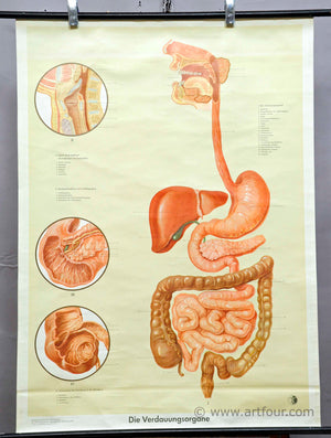 vintage pull down wall chart about digestive organs