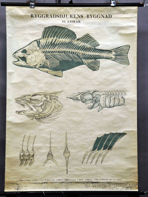vintage pull down wall chart about fish