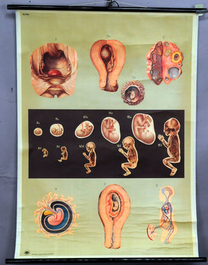 medical pull down wall chart embryonic development human body embryo infant