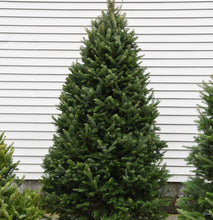 Load image into Gallery viewer, 8-10 Foot Nova Scotia Balsam Christmas Tree