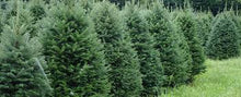 Load image into Gallery viewer, 6-8 Foot Nova Scotia Balsam Christmas Tree