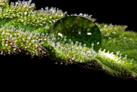 water droplet on trichomes