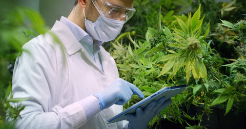 Male working on tablet in greenhouse of cannabis plants