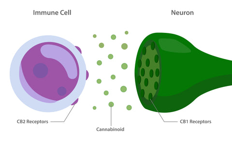 cannabinoid receptors graphic