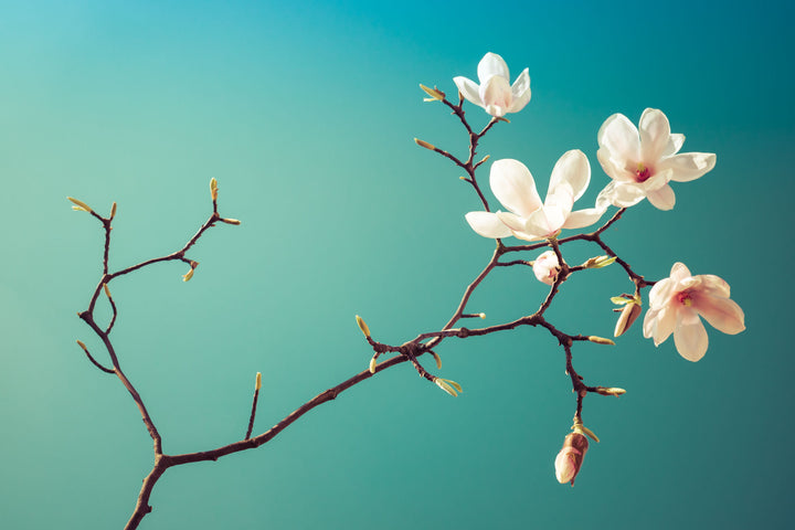 Magnolia II  - Fotokunst - Fine Art Photography - Alexander-Palm.Photography