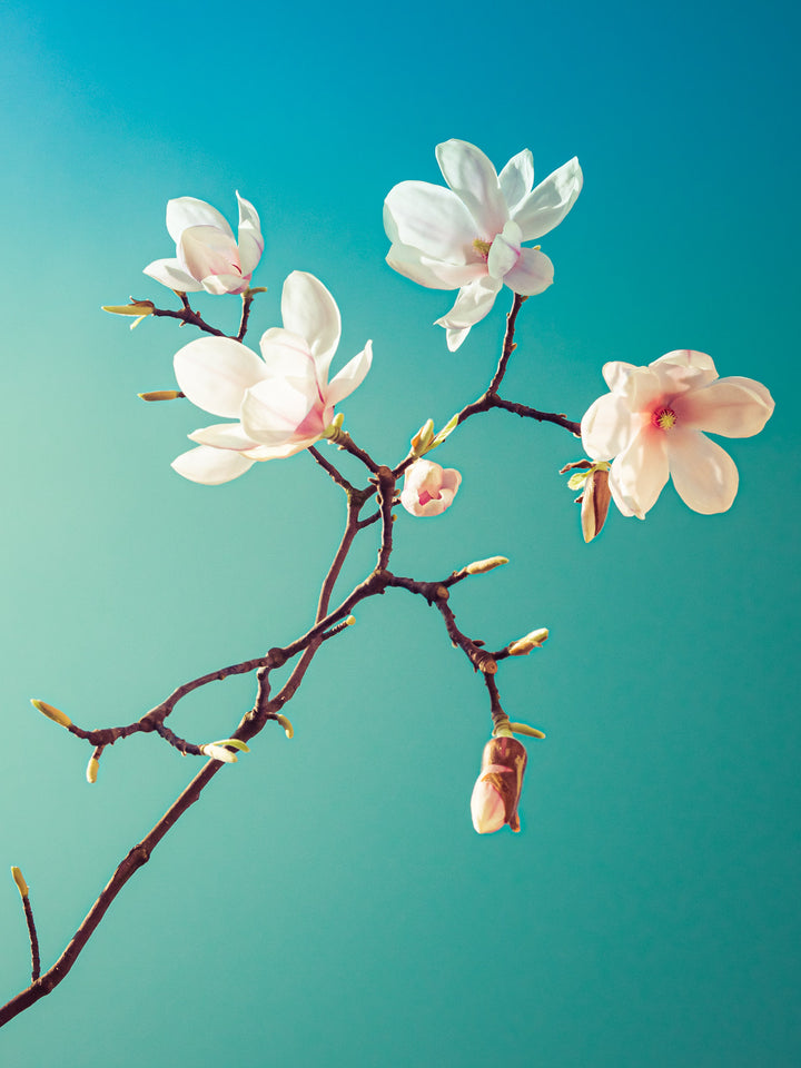 Magnolia III  - Fotokunst - Fine Art Photography - Alexander-Palm.Photography