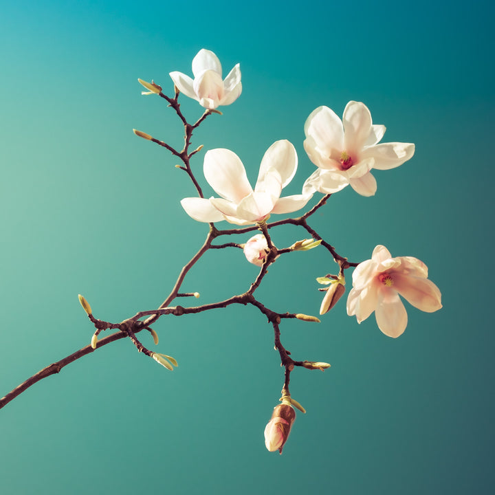 Magnolia I  - Fotokunst - Fine Art Photography - Alexander-Palm.Photography