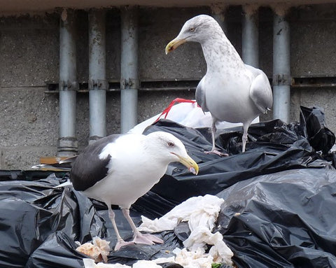 seagulls in dumpster