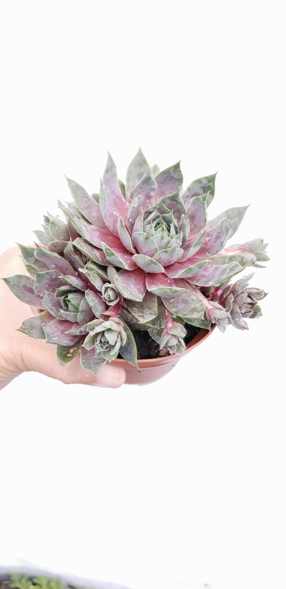 "Succulent (Sempervivum) ""Woolcotts Varieties"" , ship live plant  in plastic pot , hardy plants good for ground cover or in pot."