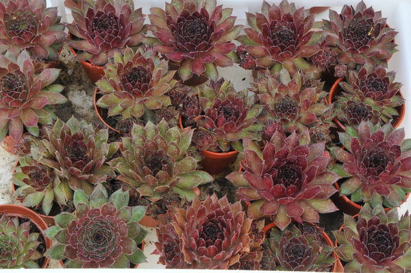 "Ohmy sempervivum 2""pot ,love sunlight and hardy plant. ground cover plant."