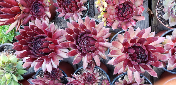 Ohmy sempervivum ,love sunlight and hardy plant. groundcover plant.