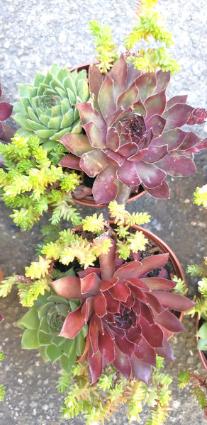 "Sempervivum ""Lenniks  Glory "" with ""Oh My""  and Sedum in 3"" pot, hardy plant."