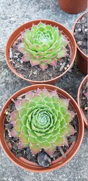 "Succulent sempervivum  ""Sirius""  hardy plant .love sunlight. ground cover or pot ,slow grow"