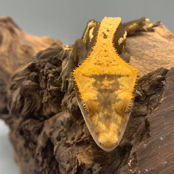 Partial Pinstripe Crested Gecko #5