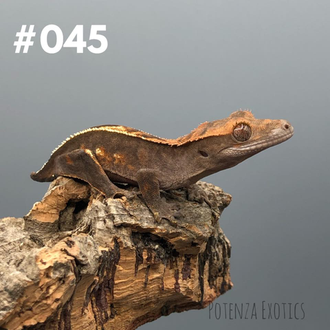 Crested Gecko #045