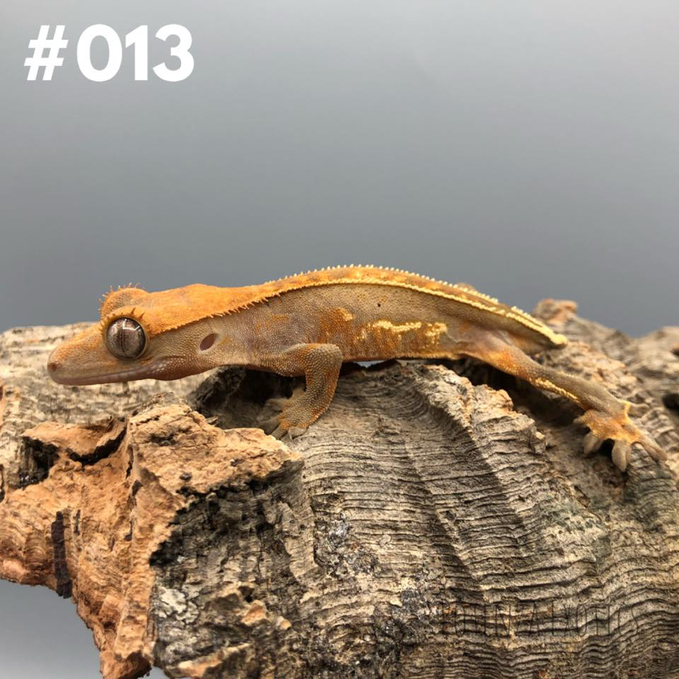 Crested Gecko #013
