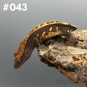 Crested Gecko #043