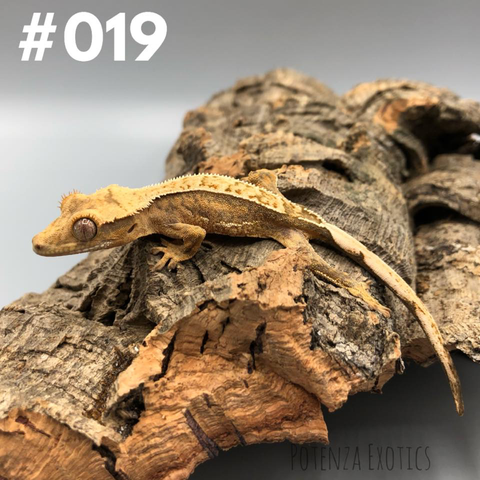 Crested Gecko #019