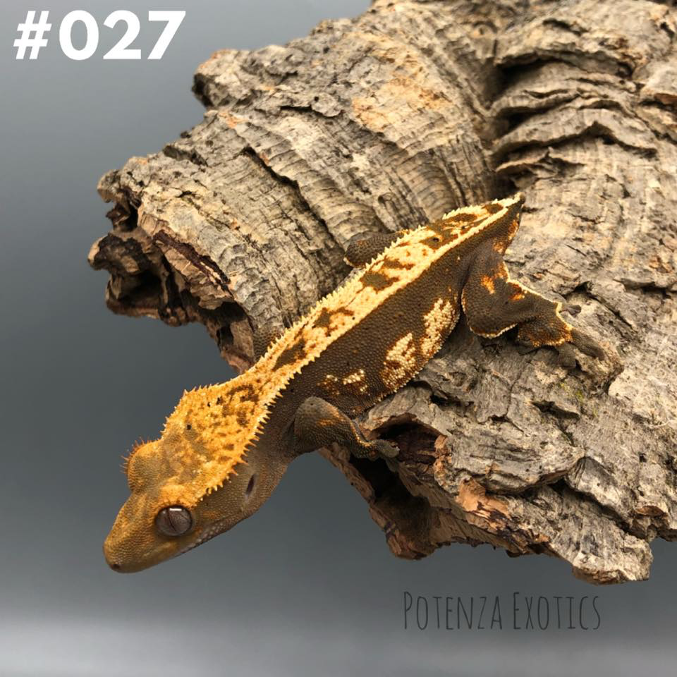 Crested Gecko #027