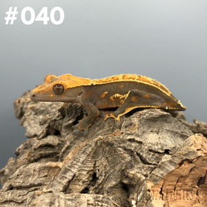 Crested Gecko #040