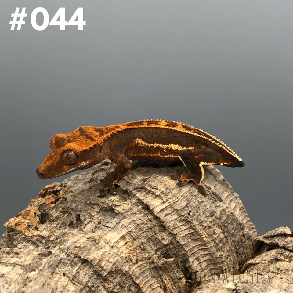 Crested Gecko #044