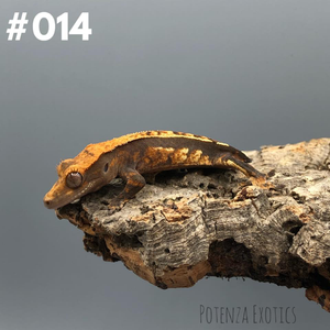 Crested Gecko #014