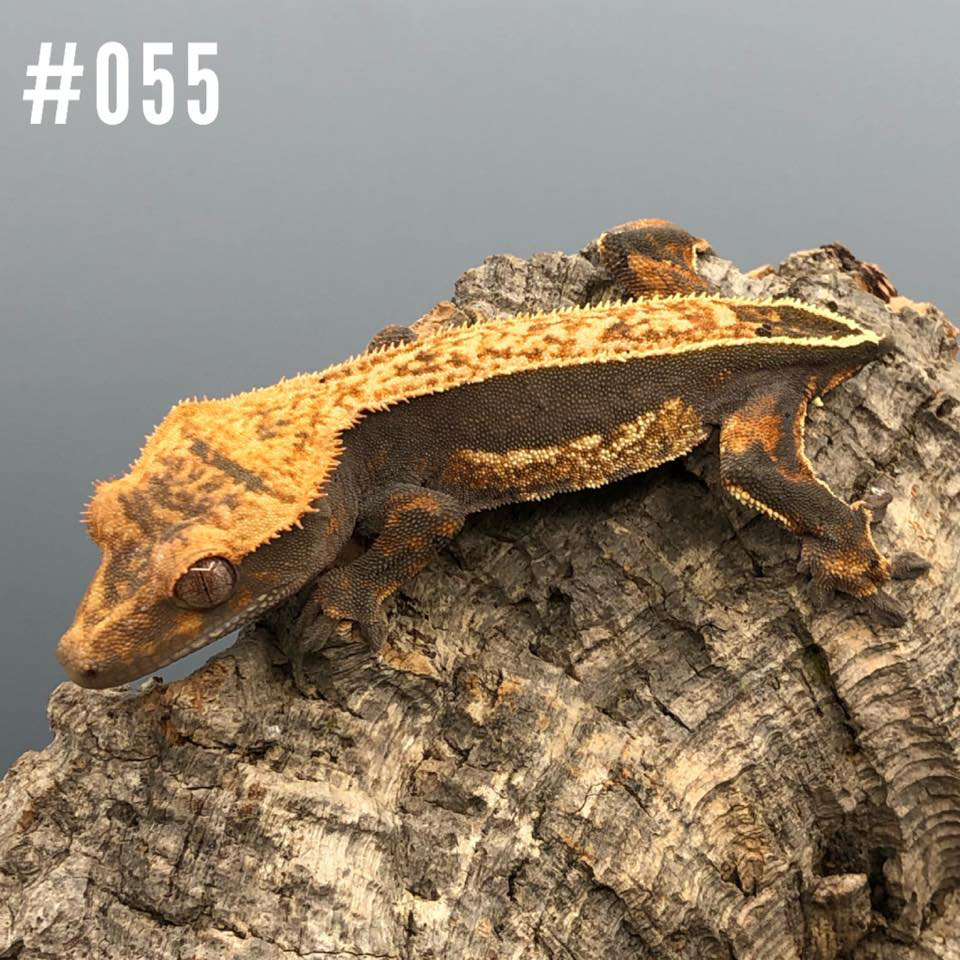 Crested Gecko #055