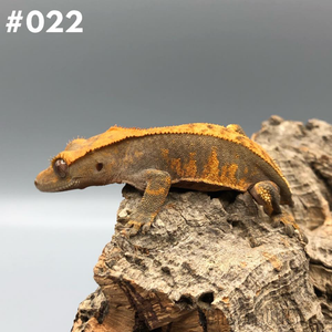 Crested Gecko #022